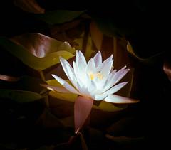 _1212255 (5816OL) Tags: flowers dad waterlilies