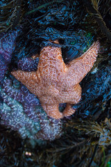 Starfish (Cyrielle Beaubois) Tags: 2016 bc britishcolumbia canoneos5dmarkii cyriellebeaubois seattle tofino ucluelet travel vancouver island pacific rim canada starfish low tide