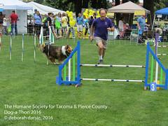 DAT2016_Agility_1171 (greytoes_99) Tags: agility dat2015 dat2016 event humanesocietytacoma people summer tacoma tacomahs volunteers dog humananimalbond cat lakewood wa us