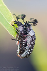 Feather-horned Beetles mating (Teale Britstra) Tags: canon 55250mm nature wildlife wild native animals animal australia australian centralqueensland queensland boynedale boynedalebushcamp bushcamp bush camp boynevalley rhipicerafemorata rhipicera femorata beetle coleoptera featherhornedbeetle feather horned antenna antennae macro extensiontubes macrophotography photography insect