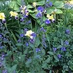 catmint & irises thumbnail