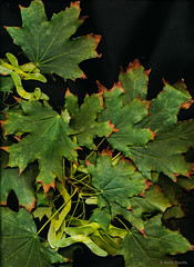 maple (Anita Pravits) Tags: ahorn maple