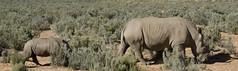 Rhynos (martaD7000) Tags: rhinos safari