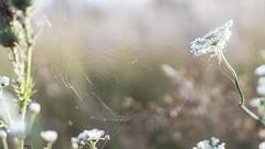 Windswept... (.: mike   MKvip Beauty :.) Tags: sony5100 sonyilce5100 sonyalpha5100 sonyalpha sony alpha emount 5100 ilce5100 primelens prime manuallens manualondigital manualfocusing manualexposure manual samyang35mm14edasumc samyang 35mm 14 aspherical macro makro handheld availablelight naturallight shallowdof bokeh bokehlicious beyondbokeh extremebokeh smoothbokeh dreamy soft zen nature green white flower wildflower summer web spiderweb cobweb wrthamrhein grtzingen europe mth mkvip ngc samyang35mmf14asumc