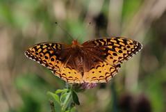 Great Spangled Fritillary (#1) (vischerferry) Tags: fritillary greatspangledfritillary orangebutterfly lepidoptera clover newyorkstate speyeriacybele explore