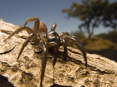 Antrodiaetus pacificus (Sean McCann (ibycter.com)) Tags: antrodiaetidae antrodiaetuspacificus mygalomorph