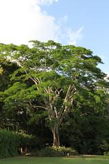 Albizia Niopoides (Silk Tree) (TreeWorld Wholesale) Tags: albizia niopoides silk tree