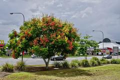 Chinese Rain Tree ( Koelreuteria )   in Brisbane (Tatters ) Tags: australia tree habit street streettree oloneo koelreuteria koelreuteriaelegans sapindaceae floweringtree