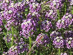 sweet alyssum  Lobularia maritima  (Sheila's collection) Tags: sweet alyssum  brassicaceae