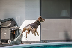 Dogs can fly? (Dirk DS) Tags: dog hond playing spelen shin ace acecharityorg flying vliegen jump spring floating zweven