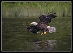 Cruising the River (DTT67) Tags: baldeagles eagles birds raptors american wildlife nationalgeographic nature canon 1dxmkii 500mmii 14xiii