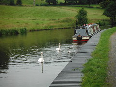 Swan Family 2 (StaircaseInTheDark) Tags: england britain greatbritain uk unitedkingdom northernengland lancashire eastlancashire pendle country countryside outdoors canal leedsliverpoolcanal animal animals birds water waterway swans cygnets