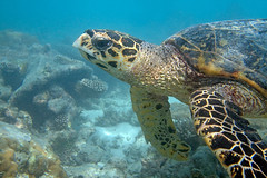 Echte Karettschildkrte (astroaxel) Tags: malediven diamonds thudufushi resort echte karettschildkrte schildkrte wasserschildkrte schnorcheln unterwasser