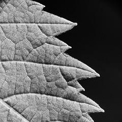 Edge (LSydney) Tags: edge macromondays leaf bw blackandwhite blackwhite monochrome macro