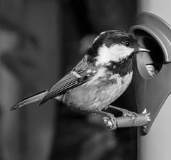 Coal Tit (Antti Tassberg) Tags: 135mm ater bw bird blackandwhite coal kuusitiainen lens lintu monochrome periparus prime tit