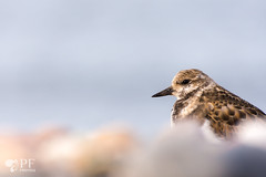 ''Bleu poudre! Tournepierre a collier/ Ruddy has collar (pascaleforest) Tags: portrait oiseau bird nikon nature passion wildlife gaspsie bleupoudre limicoles
