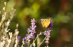 October Butterfly (Karen McQuilkin) Tags: octoberbutterfly lavender garden yard october karenmcquilkin