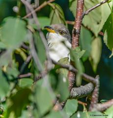 Yellow-billed Cuckoo (Summerside90) Tags: birds birdwatcher yellowbilledcuckoo september fall autumn lifer backyard garden nature wildlife ontario canada