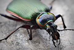 Fiery Searcher Beetle (U.S. Fish and Wildlife Service - Midwest Region) Tags: beetle beetles nature missouri mo fall october neosho nfh hatchery nationalfishhatchery fierysearcher