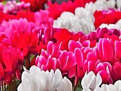 PA142175 (eriko_jpn) Tags: pinkflower redflower whiteflower cyclamen