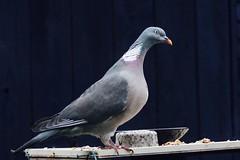 Woody. on the bird feeder (Baz2016) Tags: beautifulbird highflyingbirds high flying pigeon tit females cheers bird woody woods