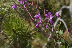 """Fireweed • <a style=""""font-size:0.8em;"""" href=""""http://www.flickr.com/photos/63501323@N07/30111532481/"""" target=""""_blank"""">View on Flickr</a>"""