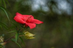 In the garden (JPShen) Tags: hibiscus red garden bokeh only one