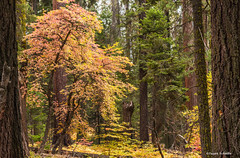 Seek solace in the forest (Photosuze) Tags: forest trees sequoia park trail autumn fall branches redwoods california sequoianationalpark