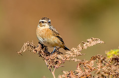 DSC9311  Whinchat.. (jefflack Wildlife&Nature) Tags: whinchat chats birds avian wildlife wildbirds moorland meadows marshland heathland hedgerows songbirds countryside nature