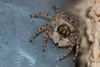 Menemerus Semilimbatus ♀ (mon_ster67) Tags: jumper jumpingspider boldjumpingspider daringjumpingspider canon canoneosrebelt5i t5i macro macrophotography closeup oooo o00o salticidae arthropods arachnid arachnida 8leggedfreaks crawler walljumper hairyspider spider itsybitsyspider menemerussemilimbatus♀ menemerussemilimbatus ♀ palp downspout ef100mmf28lmacroisusm araña araignée ca mon ©mon macrofotografía fotografía saltarinas
