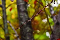 Soaked up in the rain (sruthyanu) Tags: flickr dof droplets rain branchlet bokeh nature raindrops nikon d5500 nikond5500 fall autumn season canada ontario barrie focus soakedupintherain