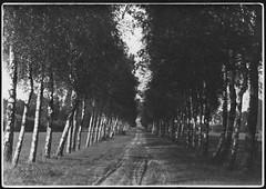 Archiv H662 Birkenallee, 1930er (Hans-Michael Tappen) Tags: archivhansmichaeltappen natur landschaft scenery umwelt lebenswelt birkenallee 1930er 1930s outdoor fotorahmen