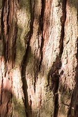 Bark (yattondave) Tags: autumncolours fall trees leaves westonbirt arboretum
