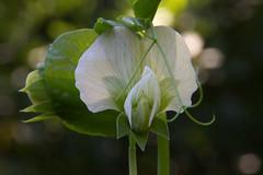 IMG_5492-2 (rawEarth) Tags: garden vegetable pea bokeh flower whiteflower macro depthoffield extensiontube vine autumn