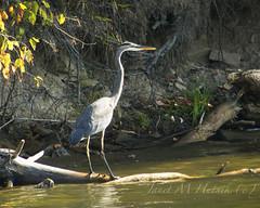 Blue Heron (jmhutnik) Tags: heron blueheron kentucky deweylake prestonsburg jennywileystateresortpark log water lake fall autumn