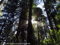 Sunlight through the Redwoods7 (Anne's Travels) Tags: redwoodnationalpark redwoods ladybirdjohnsongrove california