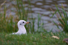 watchin' (pucek) Tags: gull blackheaded plumage winter lake water bird wild larus ridibundus chroicocephalus