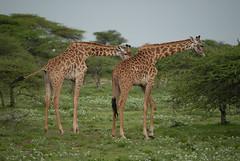 Masai giraffes (Marek Stefunko) Tags: africa wildlife giraffe tanzania serengeti nationalpark giraffatippelskirchi masaigiraffe