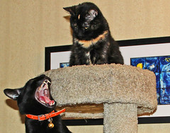 What a Big Mouth You Have (Ellsasha) Tags: cats felines rescue mischievous mischief protest mouth open onlooker complaint complaining black tortoiseshell