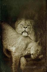 Lions (Daniel Hernanz Ramos) Tags: lion africanlion twolions lioneyes animalspictures animalsphoto animalsfacetoface amazinganimalimages lionesscloseup artisticlionpictures