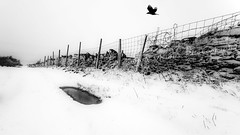 Following the flight of the Crow (Explored) (Gav Jones Landscape & Nature Photography) Tags: winter snow bird ice nature canon wildlife january pentre northwales 2015 halkyn