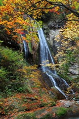 Shito Fall ~&~ (PS~~) Tags: travel autumn trees fern green fall nature beautiful leaves yellow japan forest trekking canon river gold waterfall colorful stream exposure gallery natural artistic sightseeing  bleak ravine  maples  milky miyagi