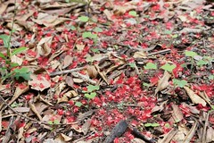 Under flowering Barringtonia acutangula (Tatters ) Tags: flowers red australia ground fallen coottha lecythidaceae barringtonia barringtoniaacutangula mcbgb