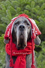 49-52 It's cold ..... (aenee) Tags: aenee xziva bluegreatdane blauweduitsedog 52weeksfordogstheoriginal week49 cold hat muts zorgdier therapydog red dsc2326 20141205 dogs wearing hats