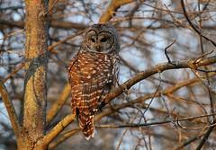A Beautiful Barred Owl (praja38) Tags: life wild ontario bird nature animals wings eyes wildlife hunting beak feathers canadian whitby owl hunter birdofprey barredowl capricorn talons lyndeshores