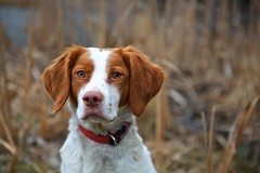 Ginger (Alan Amati) Tags: park dog pet fall field ginger illinois focus brittany hunting il attentive hunt prowl amati alanamati