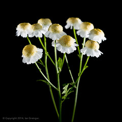 54/100 - Feverfew (*ian*) Tags: white plant black flower macro nature yellow closeup blackbackground cutout square stem flora pistil petal stamen bloom pollen stalk herb stigma isolated medicinal feverfew anther tanacetumparthenium flowerstem 100x flowerstalk bigemrg greenstem 100x2014