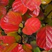 Fothergilla Leaves