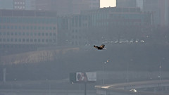 Keeping An Eagle Eye On The Lovers (jrussell.1916) Tags: winter nature birds morninglight haze wildlife cityscapes skylines kansascity birdsinflight eagles baldeagles bilboards kawpoint canon400mmf56lusm