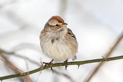 American Tree Sparrow (phil.jeffrey) Tags: nyc newyorkcity ny newyork bird nature centralpark manhattan wildlife northamerica avian americantreesparrow spizellaarborea theramble passeriformes buntingsandnewworldsparrows